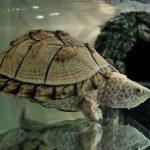 カブトニオイガメ!人気の亀!大きさによる寿命や餌、飼育方法