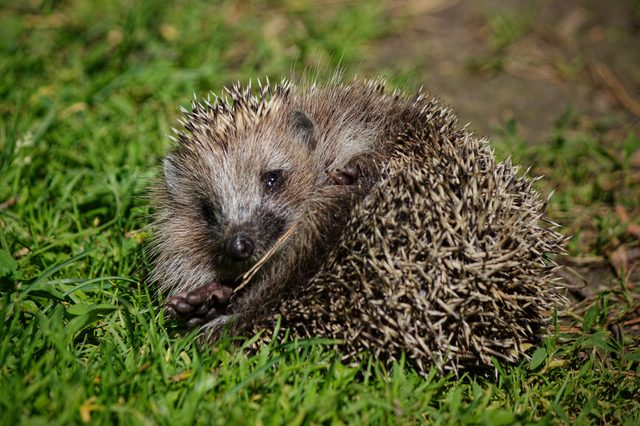 Hedgehog rests on the green grass.Funny individual sprawled on soft grass in the forest, basking in warm air.