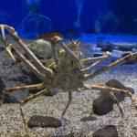 タカアシガニは巨大。その蟹の生態など。料理の旬や味は?