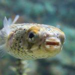 「ハリセンボン」は、かわいい魚!生態や飼育方法など。