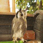 アフリカオオコノハズクの魅力!シュッと細身に早変わり