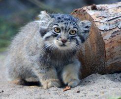 Little cub of Pallas's cat
