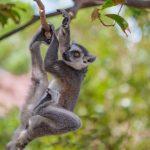 ワオキツネザルは日光浴をするかわいい猿!その理由や生態など