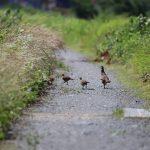 キジは日本の国鳥。飛ぶのは苦手!鳴き声は?生態や歴史も