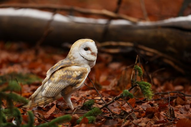 Barn owl - Tyto alba - in autumn forest with red leaves.