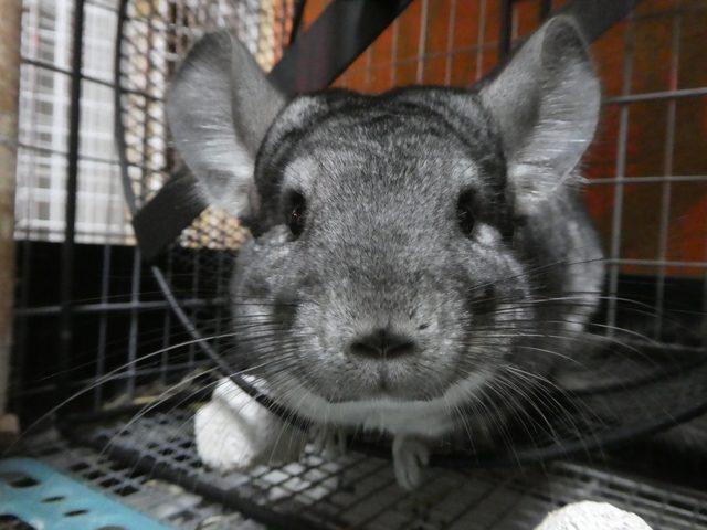 なつく!?最強にかわいいペット「チンチラ」まとめ!ただのネズミ