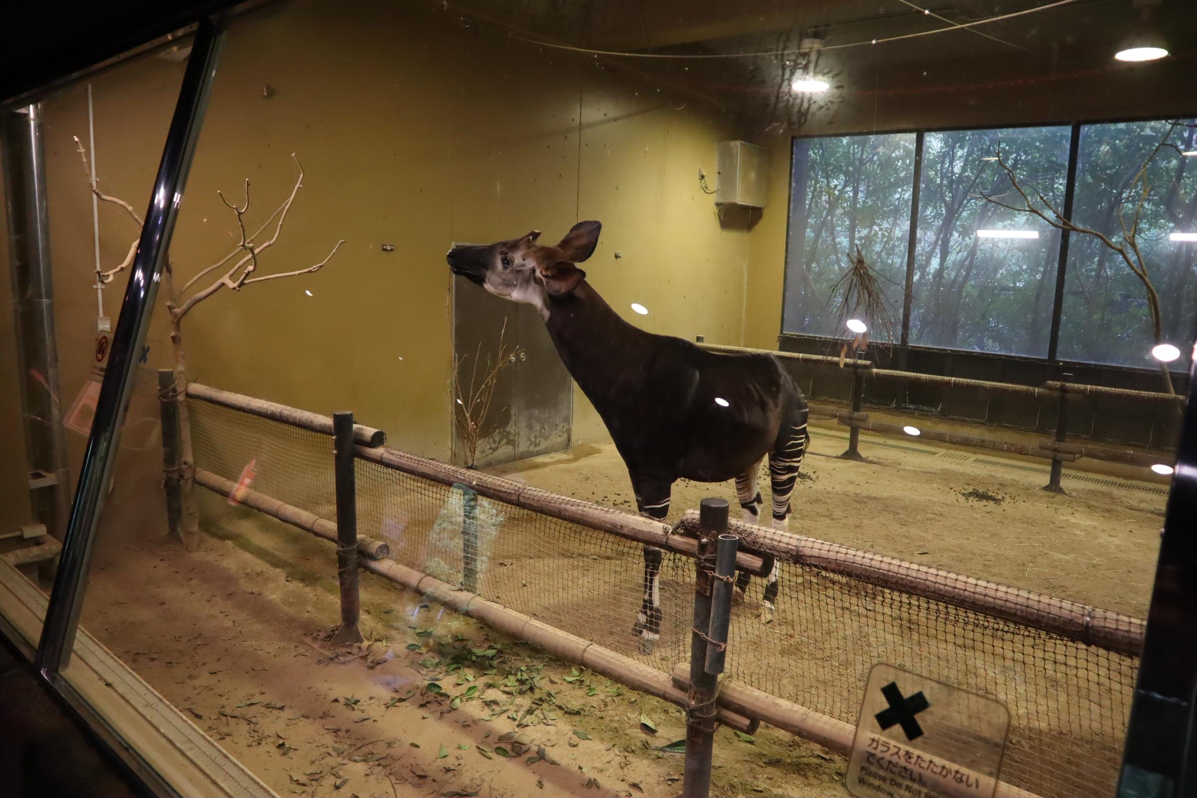 世界三大珍獣「オカピ」って何者?ズーラシアが日本初◯◯!動物園にいる?