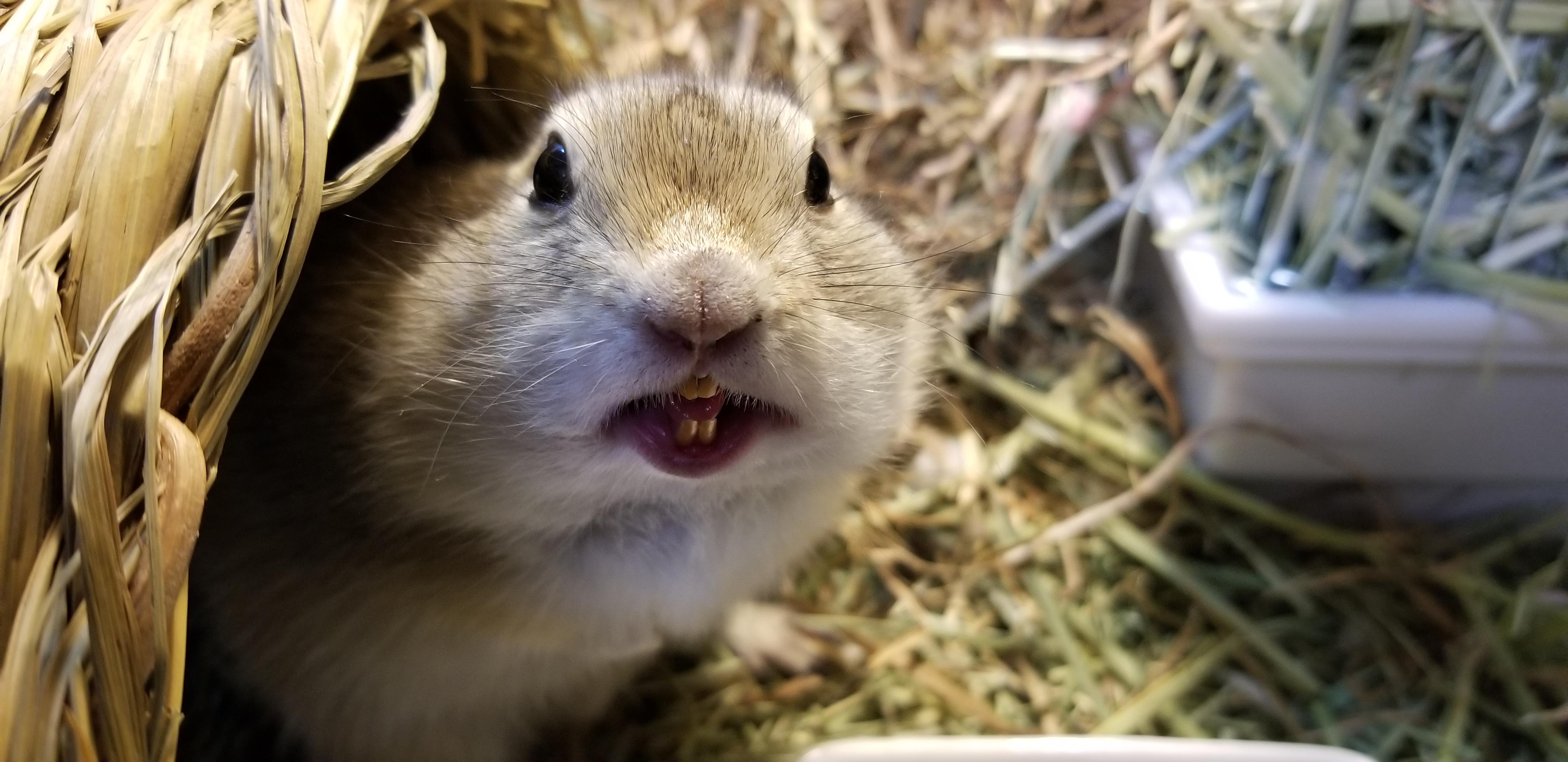 リチャードソンジリスの前歯が折れた!噛む牧草や飼育用品!