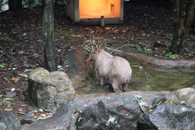よこはま動物園ズーラシアで飼育してるカピバラ