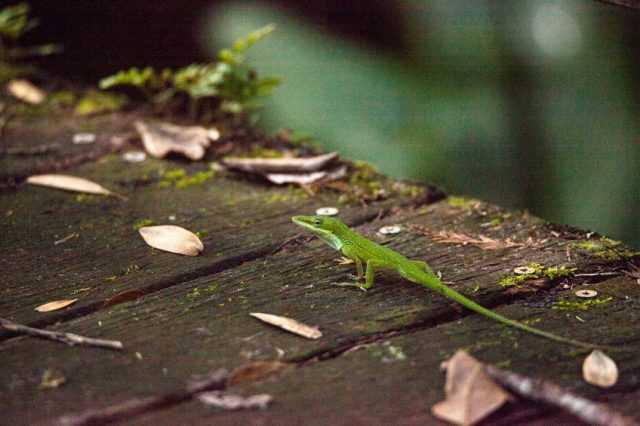 Florida native green anole, also called Anolis carolinensis, on a boardwalk in the swamp in Naples, Florida