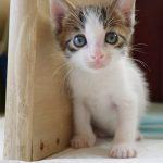 ジャパニーズボブテイルは尻尾が可愛い!喋る猫?飼育できる?