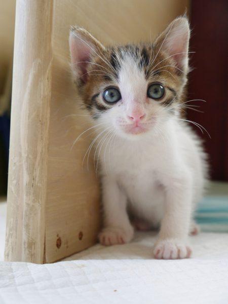 Japanese Bobtail 1 month old.(ジャパニーズボブテイルの子猫)