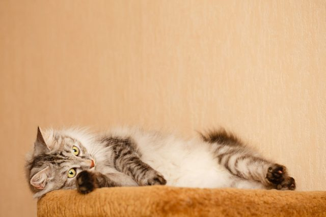 Cute furry cat lies on a bed. Pets.Japanese bobtail cat long hair.