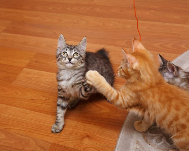 Kuril Bobtail kittens play. Thoroughbred cat. Cute and funny kitten. Pet.(クリルアイランドボブテイルの子猫)