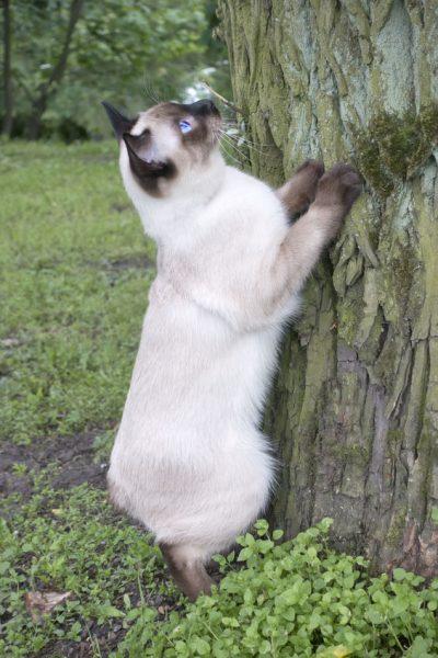 Mekong bobtail cat trying to climb a tree.(メコンボブテイル)