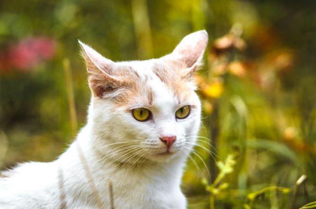 耳が後ろを向いている猫
