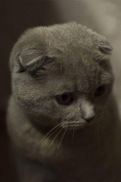 Scottish fold cat of gray color. Portrait of a pensive cat. Pet.