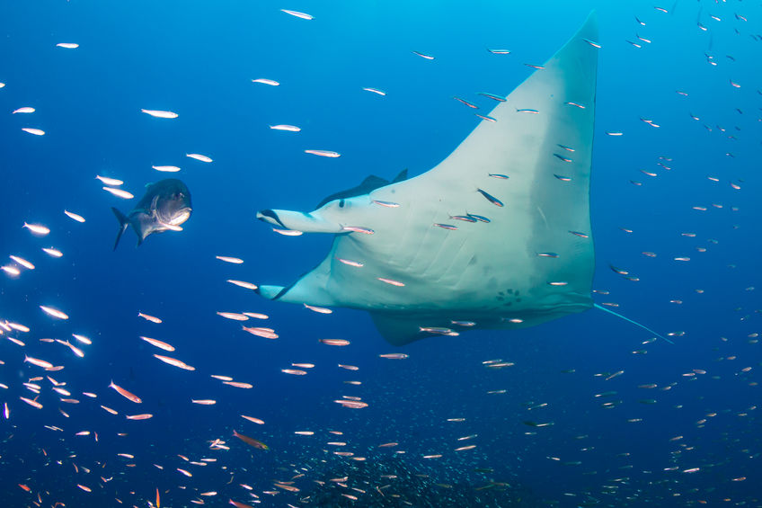 Large Female Oceanic Manta Ray (Manta birostris) swimming through tropical fish on a coral reef (Koh Bon, Similan Islands)