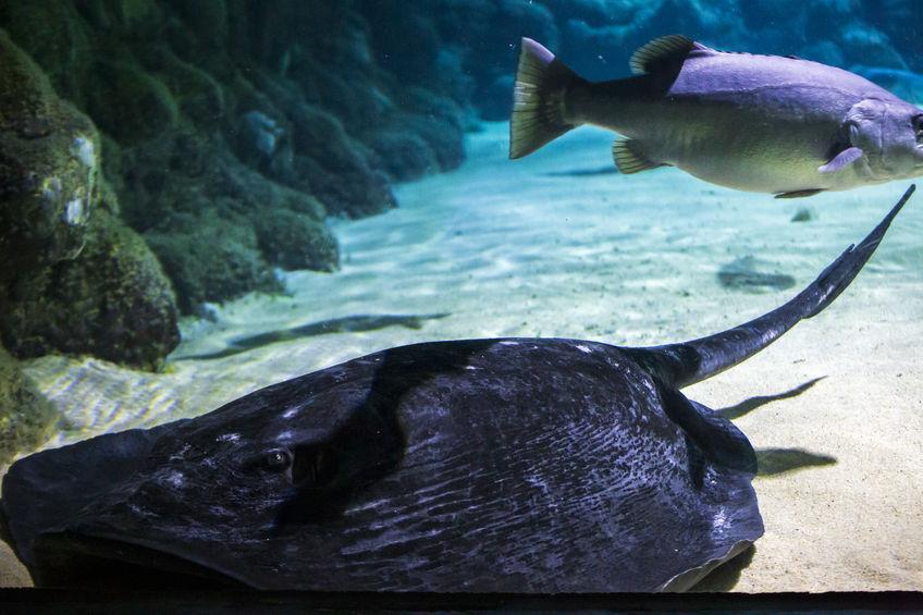 Close up of Short Tail Stingray in the aquarium