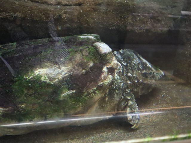 東山動植物園で飼育しているワニガメ