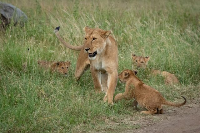 Lioness crossing grass with three playful cubs.