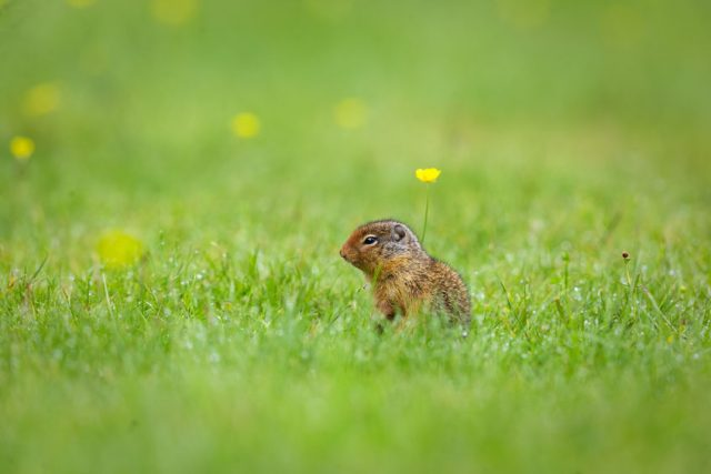 Richardsons ground squirrel with yellow flowers on grass.