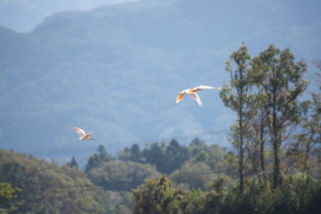nipponia nippon or japanese crested ibis or toki, once extinct animal from japan, flying on blue sky in sado island.