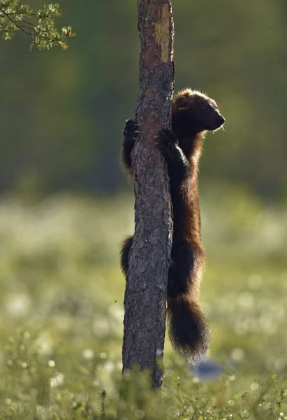 wolverine climbing on the tree. wild nature. natural habitat. glutton, carcajou, skunk bear, or quickhatch. scientific name: gulo gulo. 木を登っているクズリ