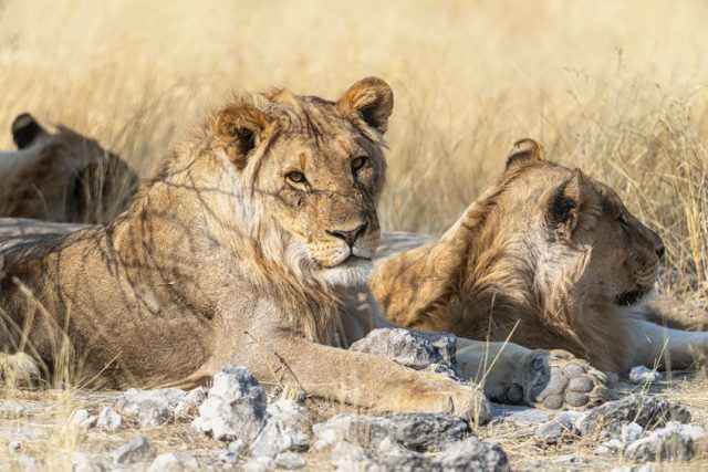 Namibia, Africa. Lions at Etosha National Park.