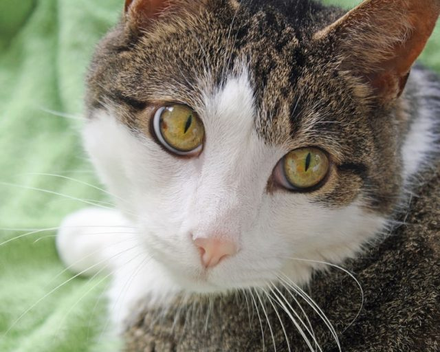Close up of a domestic short haired cat. Big bright hazel colored eyes, soft pink nose and white face and whiskers.