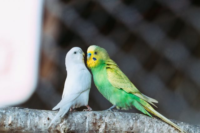 Two parrots at the zoo are looking at each other.