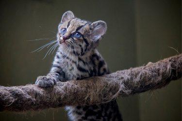 なかなか会えない珍しい猫の種類!かわいい!日本の動物園で見れる?
