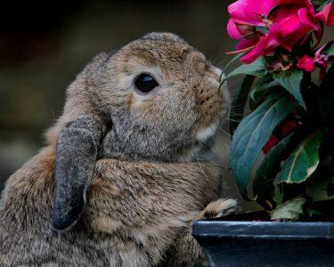 ホーランドロップは、なつく!垂れ耳がかわいい!生態も。動物園は?
