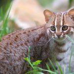 サビイロネコは世界最小の猫!小さい!可愛い!日本の動物園にいる?