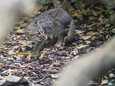 サビイロネコは世界最小の猫!小さい!可愛い!動物園にいる?