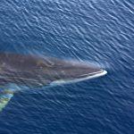 絶滅危惧種ではないミンククジラまとめ記事!逆に数が増えすぎた?