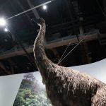 デカすぎ!巨鳥「ジャイアントモア」絶滅原因と生存可能性を探った