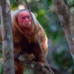 赤い珍獣ウアカリの生態は?天使の囀りでも紹介!日本の動物園にいる?