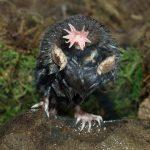 「ホシバナモグラ」珍獣の王!その外見と生態!日本の動物園で見れる?