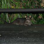 生存数●頭、イリオモテヤマネコ絶滅の危機!その悲しい原因、保護活動