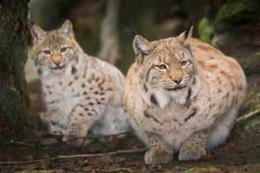 「ヨーロッパオオヤマネコ」木登りも得意な猫!日本では絶滅した?