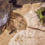 救世主!!生きた化石「カブトガニ」の10の不思議&青い血液の秘密とは?