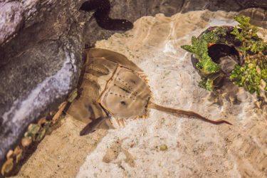 「カブトガニ」生きた化石!その不思議や生態、生息地について!