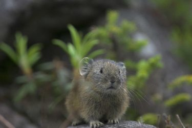 ナキウサギは可愛い!生きた化石?ペットとして飼育できる?