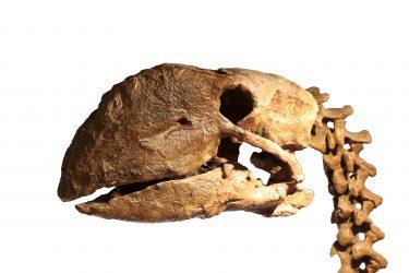 昔の最強鳥類ディアトリマ(ガストルニス)!その生態とは?