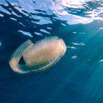 地球にとっての救世主!?透明で面白生態の生物「サルパ」の正体とは??