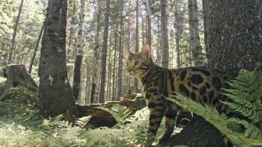 珍しい猫やネコ科の動物の鳴き声!どんな気持ち?