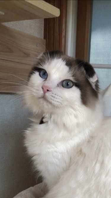 猫の目の色の種類!子猫は?オッドアイとダイクロイックアイの違いは?