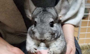 なつく!?最強にかわいいペット「チンチラ」まとめ!ただのネズミじゃないぞ!