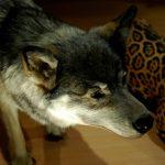 ニホンオオカミの絶滅の原因は?食物連鎖に必要だった!目撃情報や復活なども